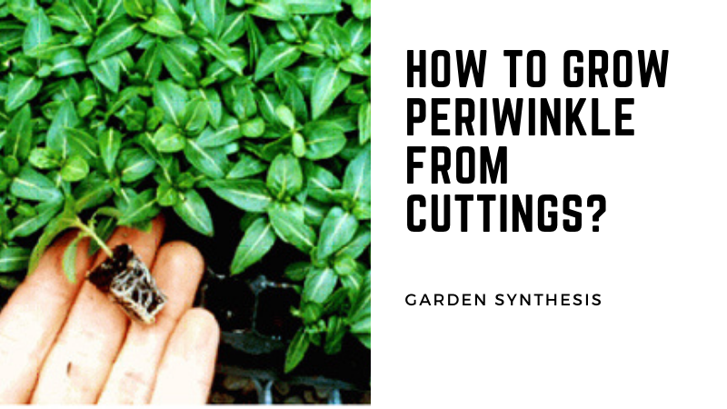 How To Grow Periwinkle From Cuttings?