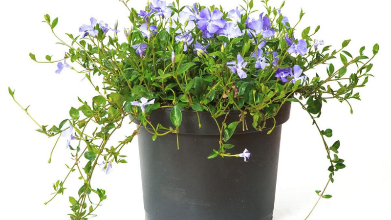 How To Grow Periwinkle In A Pot?