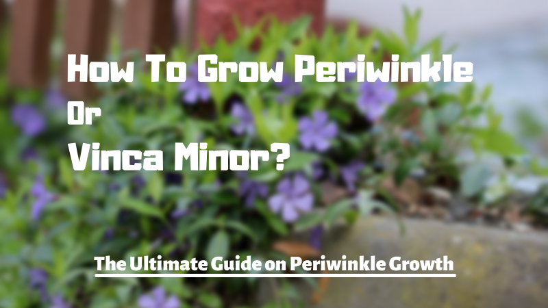 How To Grow Periwinkle Or Vinca Minor - The Ultimate Guide