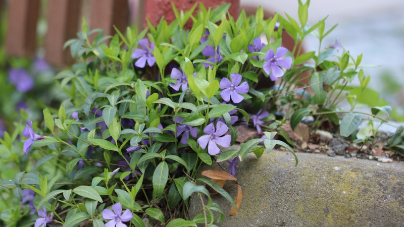 How To Grow Periwinkle