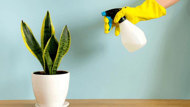 How to Water Snake Plant