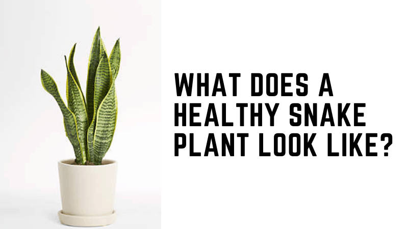 What Does A Healthy Snake PlantLook Like?
