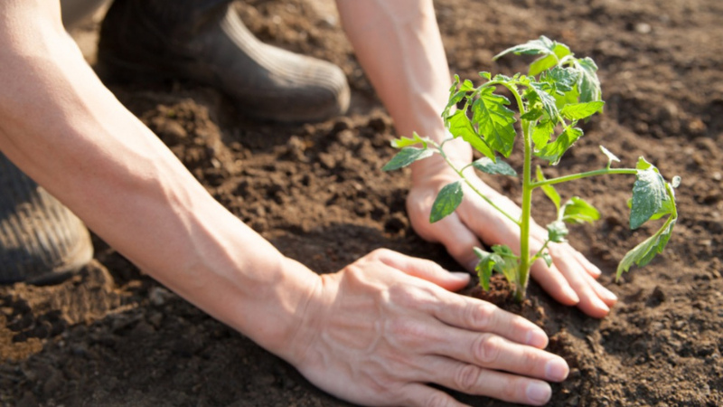 What Is The Ideal Temperature to Transplant Tomato Plants Into The Garden Soil?