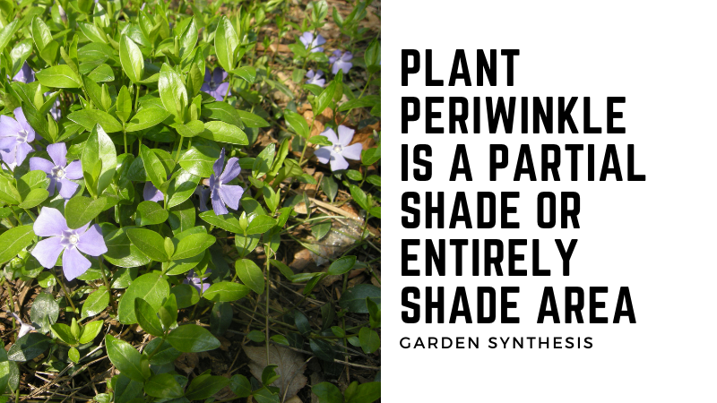 Where to plant periwinkle or vinca minor