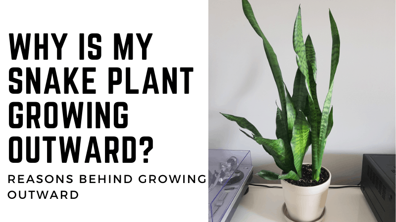 Why Is My Snake Plant Growing Outward