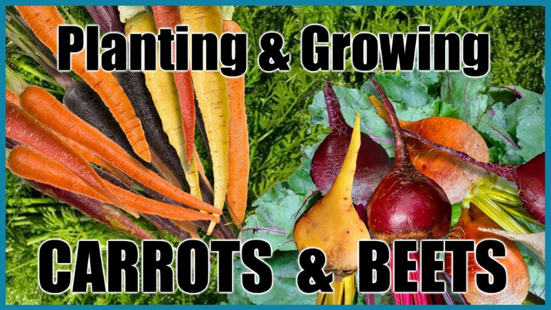 Best Fertilizer For Carrots And Beets