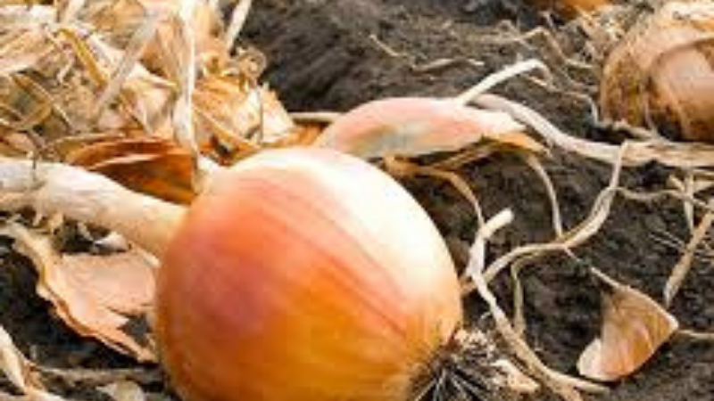 Best Fertilizer For Onions And Garlic