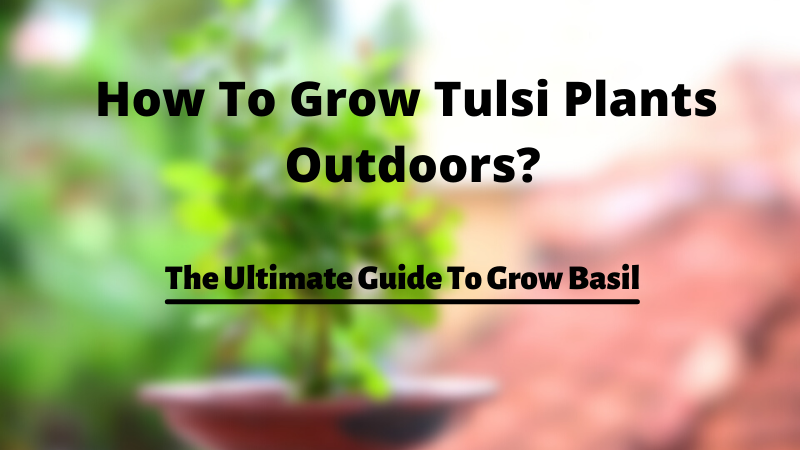 How To Grow Tulsi Plants Outdoors | The Ultimate Guide To Grow Basil