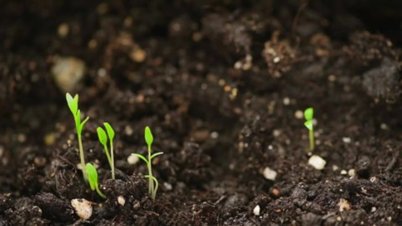 How To Grow Tulsi Plants Outdoors - repot the tilsi germinating seeds in outside