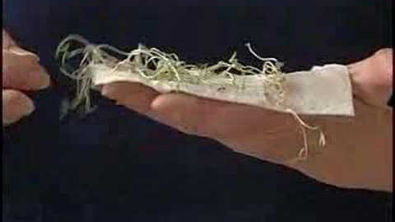 How To Grow Tulsi Plants Outdoors - tulsi seed germination wrapping with paper