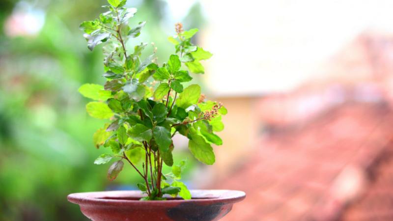 How to Grow Tulsi Plant from Seeds?