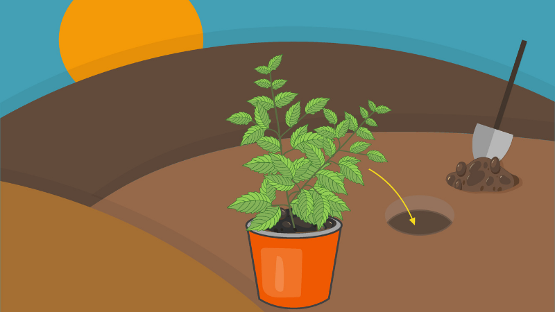 How to Plant out The Tulsi Plant Perfectly?