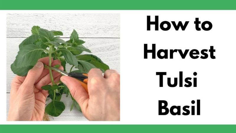 Tulsi Basil Harvesting Instructions