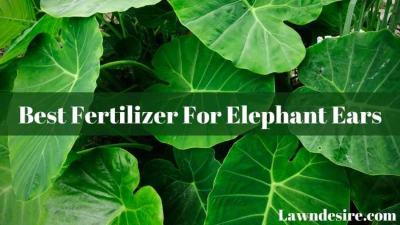 What Is The Best Fertilizer For Elephant Ears?