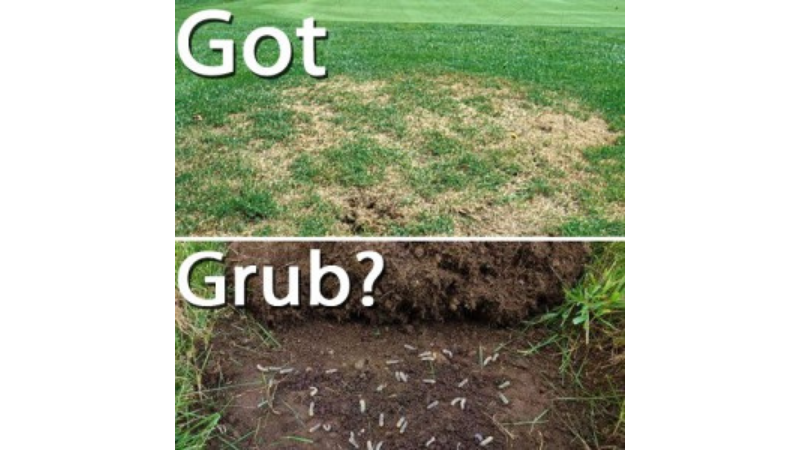 How do Grubs Affect Your Lawn?