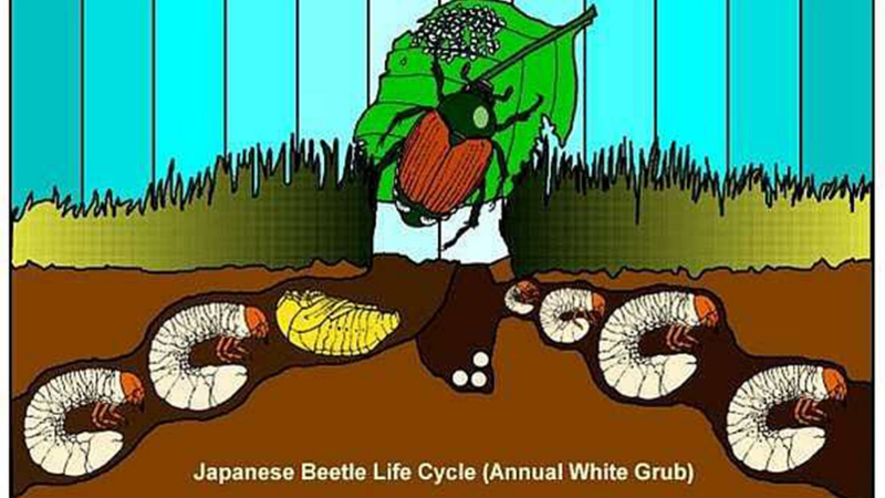 How to Control Grubs Without Chemicals?