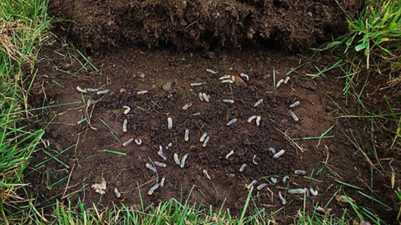 How to Kill Lawn Grubs on an Organic Lawn?