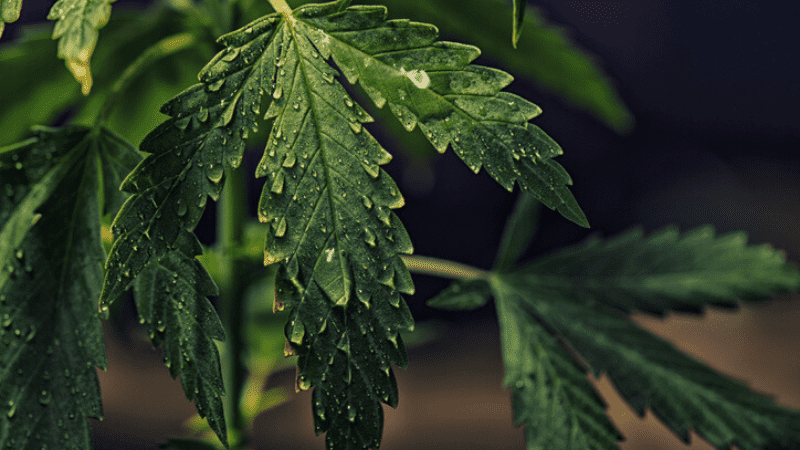 When Should You Lower Humidity In Flowering
