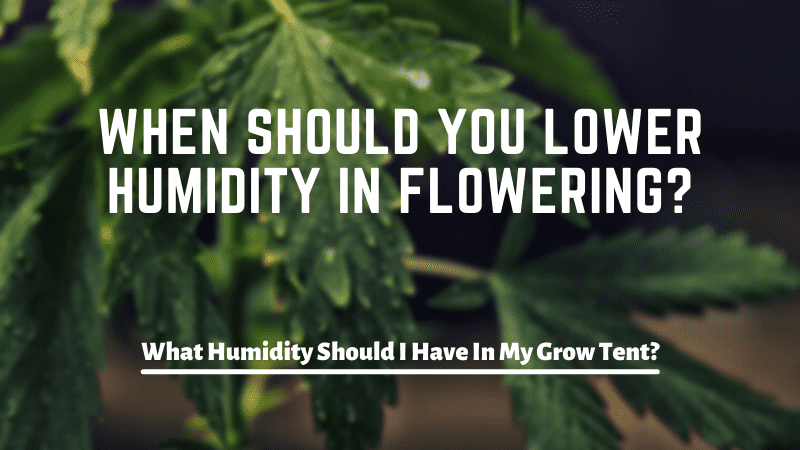 When Should You Lower Humidity In Flowering?